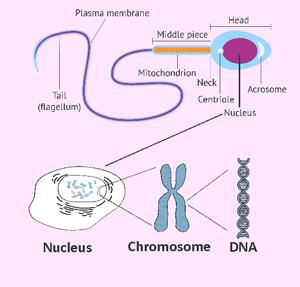 Teratozoospermia : Kepala sperma - Nucleus - Chromosom - DNA