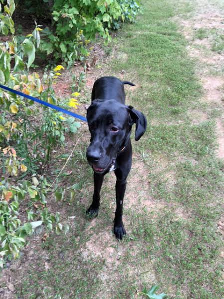 Friday S Friend Dog Adoption Mid Atlantic Great Dane