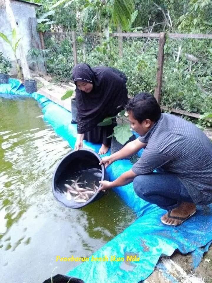 Gambar Budidaya atau Ternak Ikan Nila di Lahan Sempit