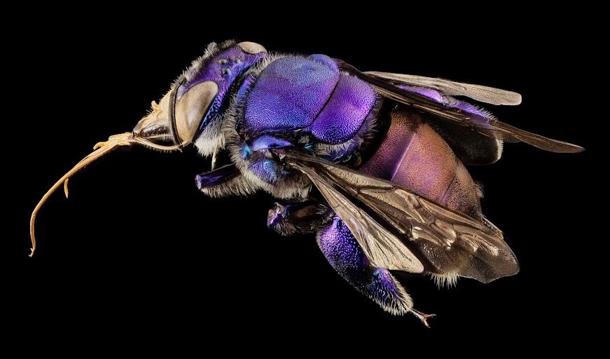 metallic purple bee orchid