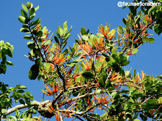 Erva-de-passarinho Psittacanthus dichroos (Mart.) Mart.