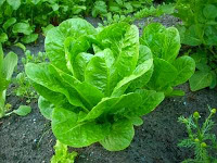Φυτά και λαχανικά που μπορούν να καλλιεργηθούν στη σκιά