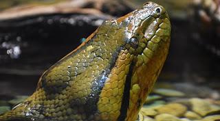 4. Green Anaconda (Eunectes murinus)- 7 meters (23 ft.)