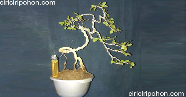 ciri ciri pohon ketapang bonsai