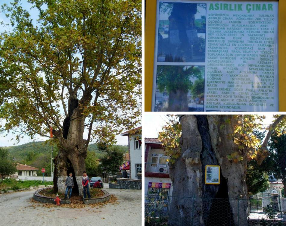 Şile'nin Kabakoz Köyünde Yıllara Meydan Okuyan 700 Yıllık Çınar
