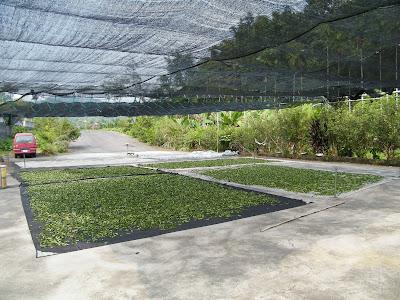 鹿谷冬茶採收