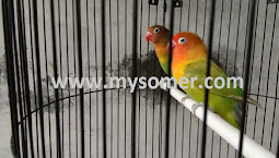 https://www.mysomer.com/2019/06/hasil-jebol-birahi-lovebird.html