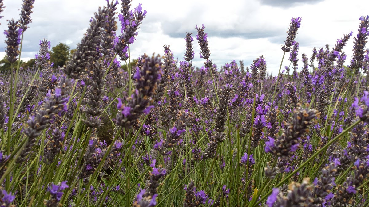 Mayfield Lavender farm, Banstead Surrey.