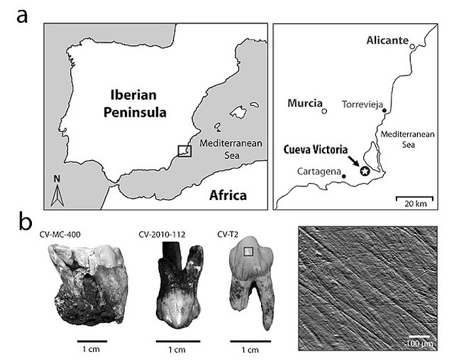Study reveals diet of 'Theropithecus oswaldi' found in Spain's Cueva Victoria