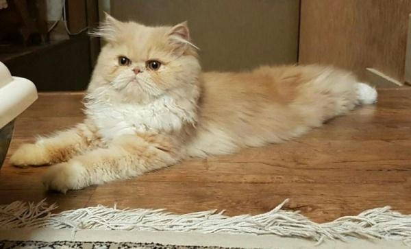 قط البيكي فيس