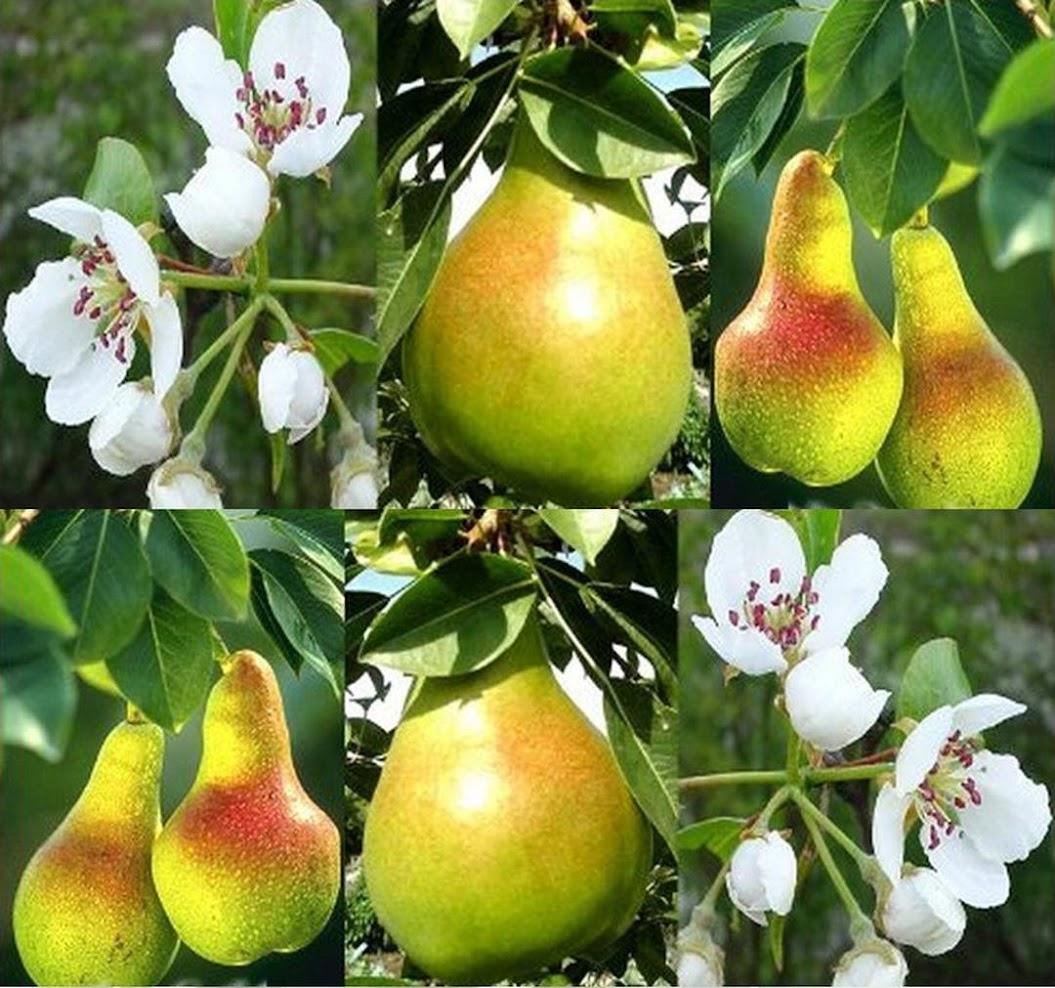 Amefurashi Benih Bibit Buah Pir Import Good Fruit MAke Your Dreamy Pir Garden Pontianak