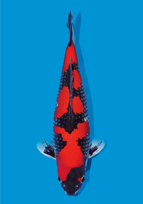 ikan koi jenis goshiki