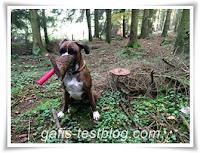 Boxer Amy sammelt Holzrinde im Wald