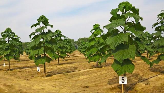 Argentina impulsa el cultivo del Kiri, el árbol capaz de detener el cambio climático