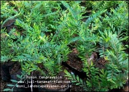 POHON CENDRAWASIH | Phyllanthus myrtifolius