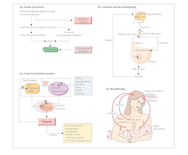 Female Reproduction: IV Parturition and l Actation, Parturition and lactation, The factors that stimulate parturition, Lactation and the suckling reflex, The suckling reflex,