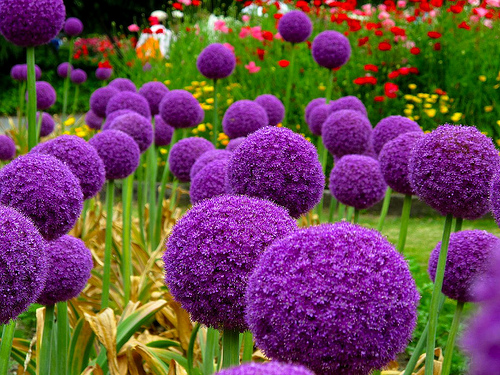 how to grow allium giganteum from seed the garden of eaden. Black Bedroom Furniture Sets. Home Design Ideas