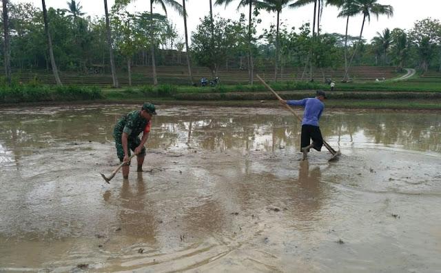 Kodim Karanganyar - Sertu Sumaryo Bantu Petani Mengolah Lahan Sawah di Desa Binaannya