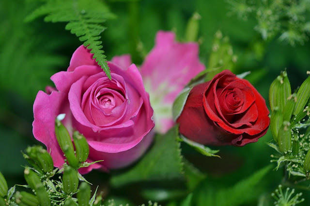 red or pink roses