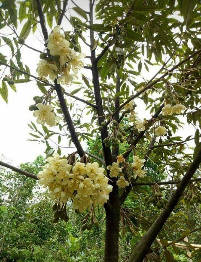 Cara memupuk durian dan unsur-unsur pupuk untuk durian