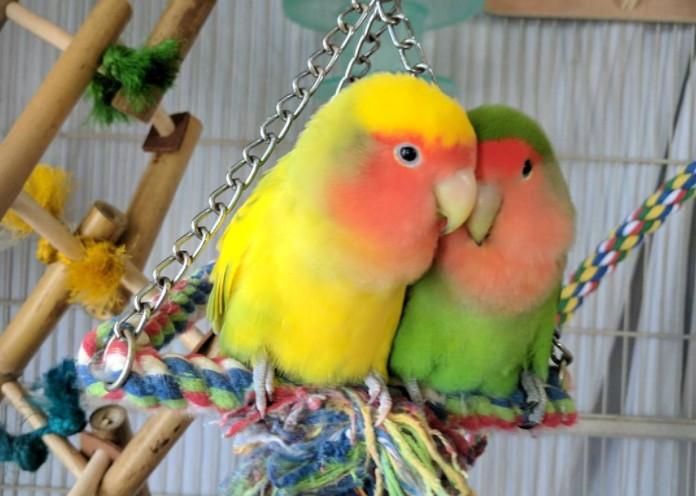 Daftar Harga Burung Lovebird Terbaru Bulan Ini