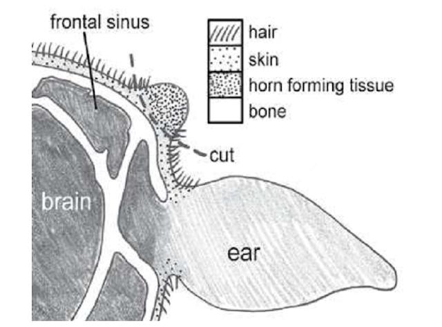 Lokasi pemotongan pada sapi muda (lustrasi)