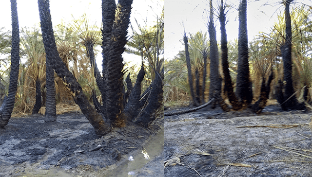 حريق مهول يأتي على 500 شجرة للنخيل