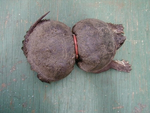 Umas dessas consequências são os lacres, argolas e outros objetos descartados sem os devidos cuidados, que prendendo-se às tartarugas e deformam seus corpos. Mas não é apenas por fora que o lixo prejudica as tartarugas. Por confundirem certos materiais, principalmente os restos de sacolas plásticas, com algas e outros de seus alimentos, inúmeras tartarugas são encontradas mortas com o lixo alojado nos estômagos.