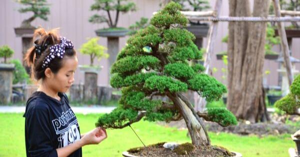 Juniper Bonsai