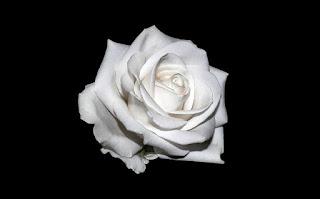 gambar mawar putih polos