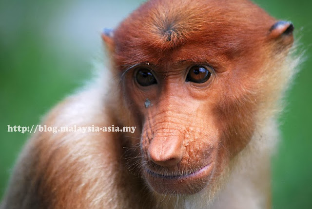 VMY 2014 Proboscis Monkey Mascot