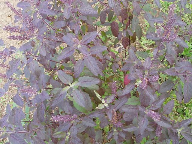 Hương Nhu Tía - Ocimum sanctum - Nguyên liệu làm thuốc Chữa Cảm Sốt