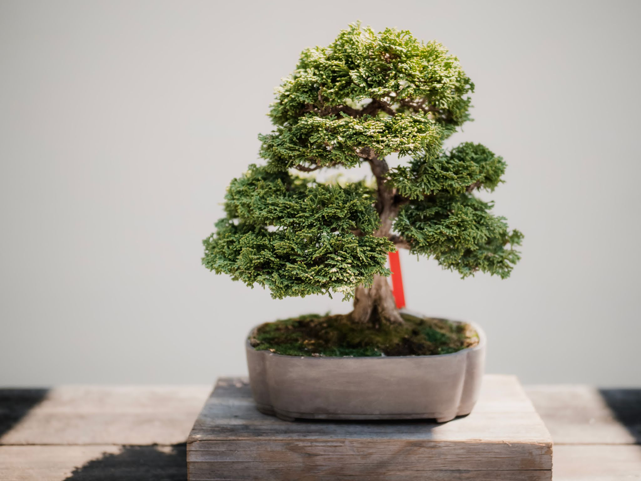 Bonsai Repotting And Aftercare