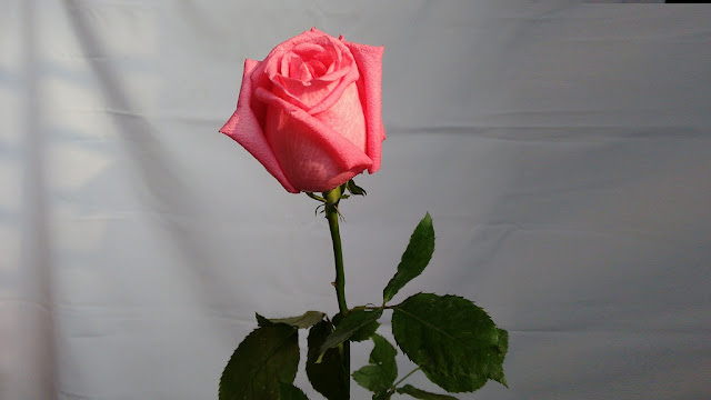 rose day beautiful images