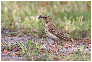 https://bioclicetphotos.blogspot.fr/search/label/Pipit%20des%20arbres%20-%20Anthus%20trivialis