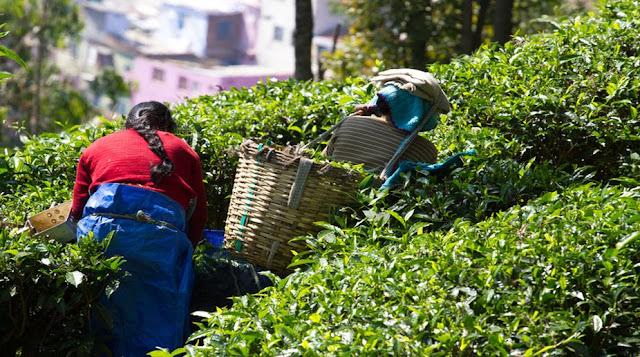 Darjeeling tea planters