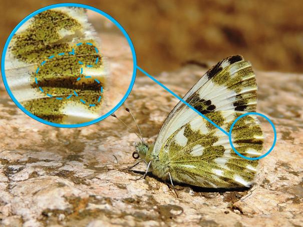 Detalle de Mickey Mouse en las alas de Pontia daplidice