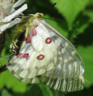 Clodius Parnassian, Parnassius clodius