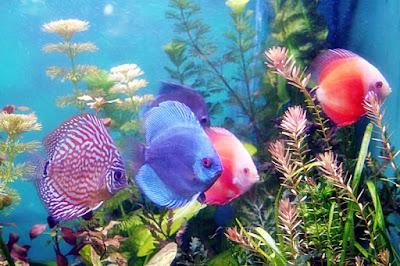 Budi Daya Ikan Hias | Materi Prakarya Kelas 9 Semester 2 Revisi