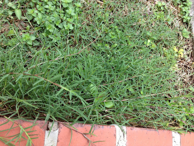Figure 11. Bermuda grass growing on a lawn in Singapore (own photo)