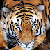 India, Nepal, Bhutan to count tigers in high altitude