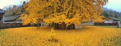 To πιο θαυμαστό δέντρο της Κίνας, φυτεμένο από τον αυτοκράτορα πριν 1.400 χρόνια, στρώνει χαλί για τον χειμώνα σε βουδιστικό ναό