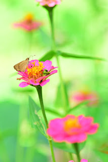 zinnia flowers and butterfly