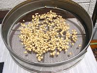 収穫し乾燥中のコーヒー豆