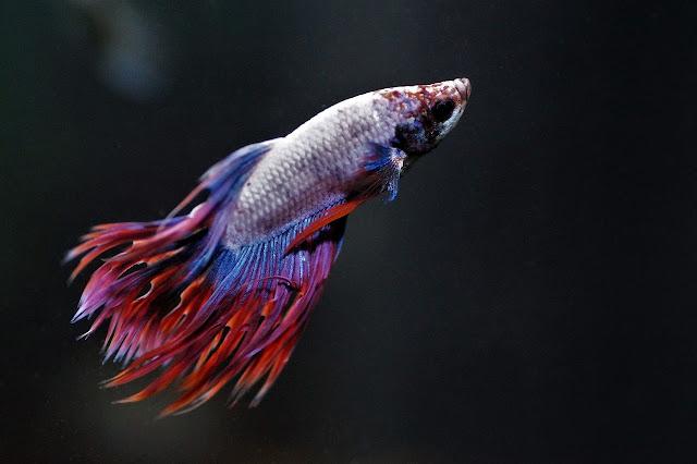 Sejarah dan fakta unik ikan cupang yang perlu Anda ketahui
