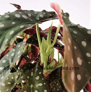 como-cuidar-begonia-maculata