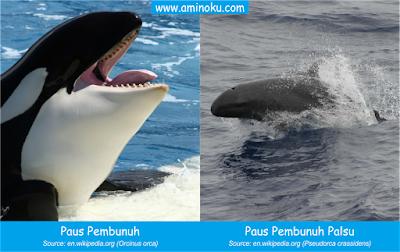 Paus pembunuh dan paus pembunuh palsu