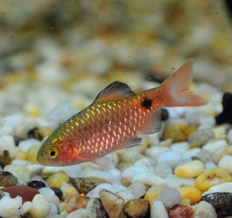 68. Jenis Ikan Hias Aquascape Rosy Barb