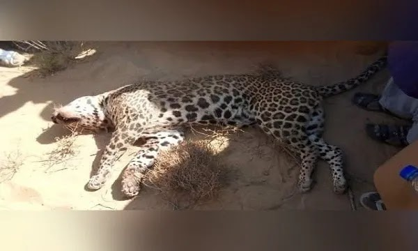 The Indian Leopard Killed By Locals in Mithi