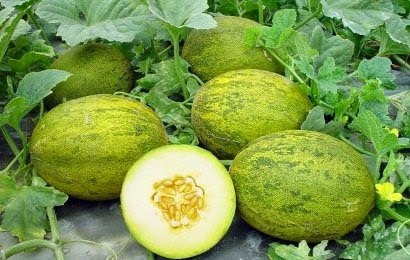 melon buah